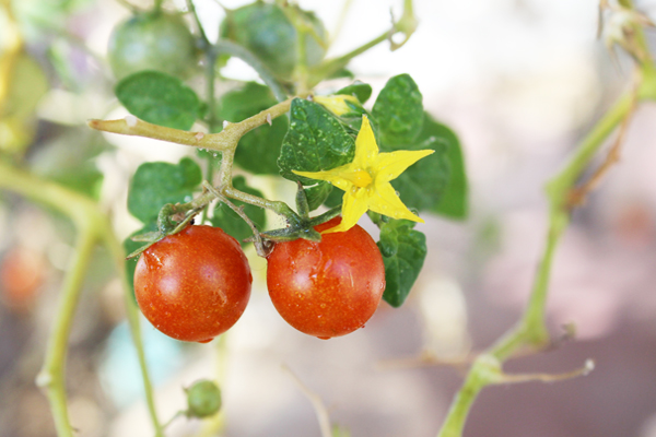Smaller tomatoes do very well in Tucson. photo: Jamie Manser