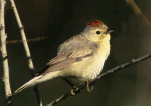 Tucson Bird & Wildlfe Festival is Aug 13-17. This is a Lucy's Warbler by Jim Burns